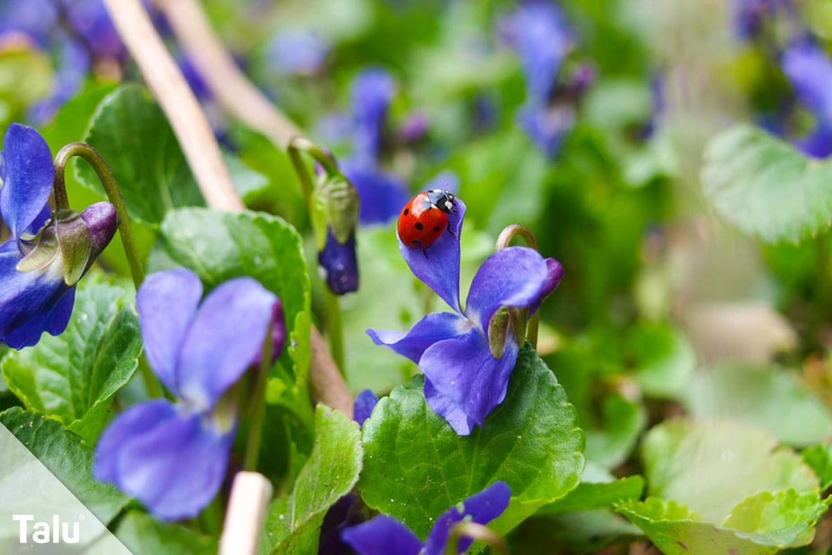ideale Balkonpflanzen für schattige Standorte, Duftveilchen