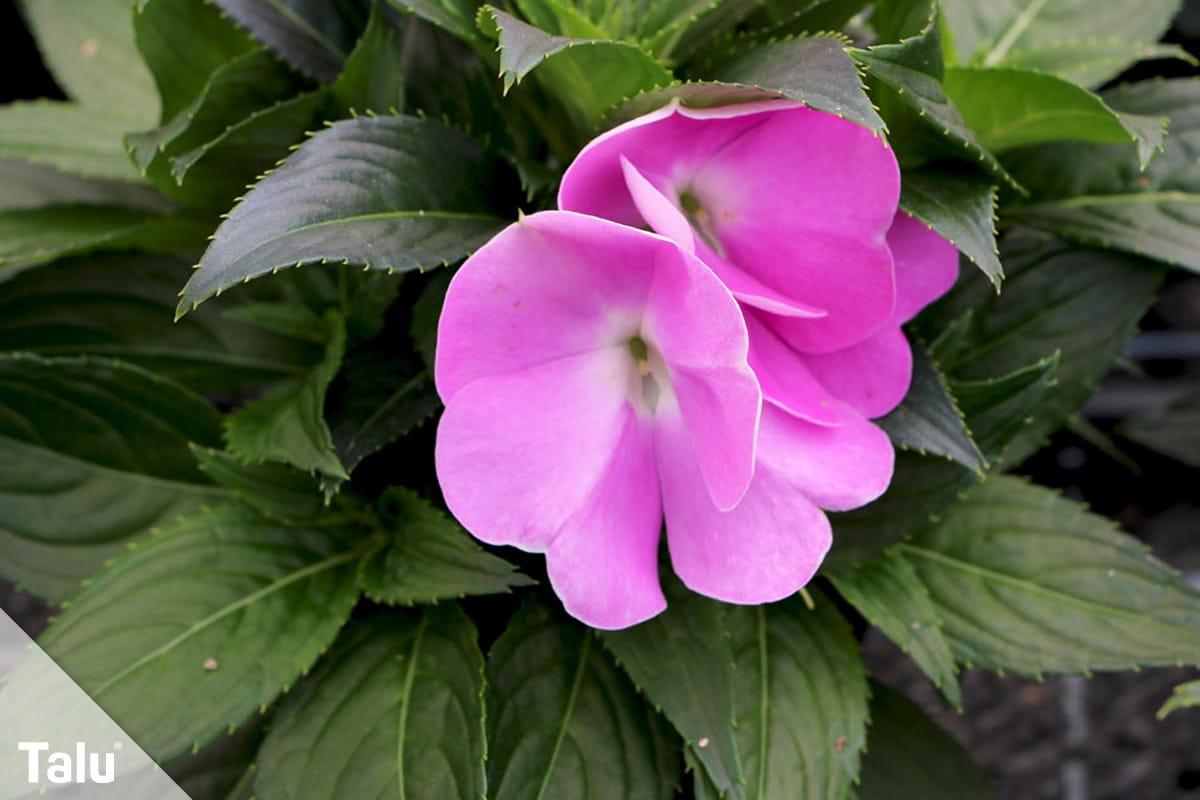 ideale Balkonpflanzen für schattige Standorte, Fleißiges Lieschen