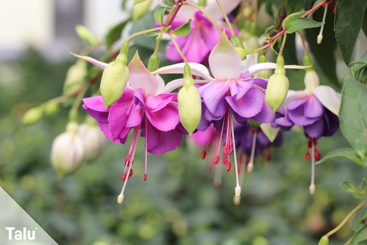 ideale Balkonpflanzen für schattige Standorte, Fuchsien