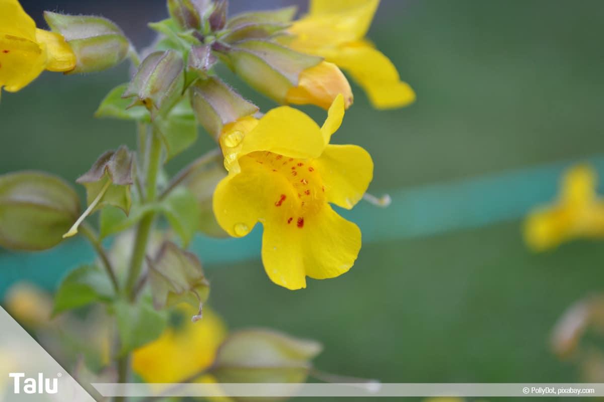 ideale Balkonpflanzen für schattige Standorte, Gauklerblume