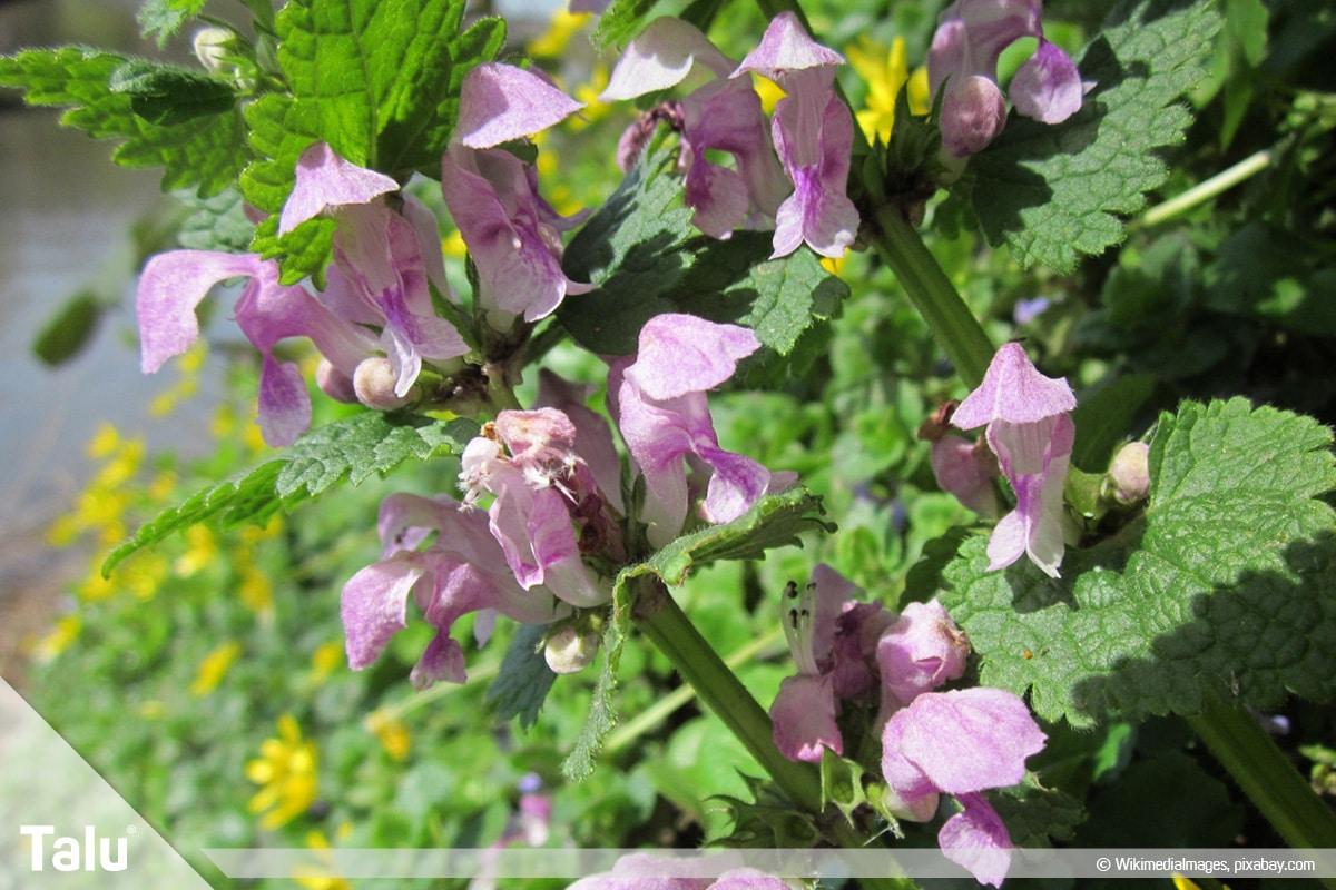ideale Balkonpflanzen für schattige Standorte, Gefleckte Taubnessel