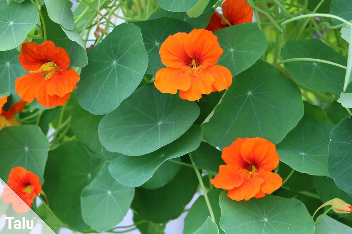ideale Balkonpflanzen für schattige Standorte, Kapuzinerkresse