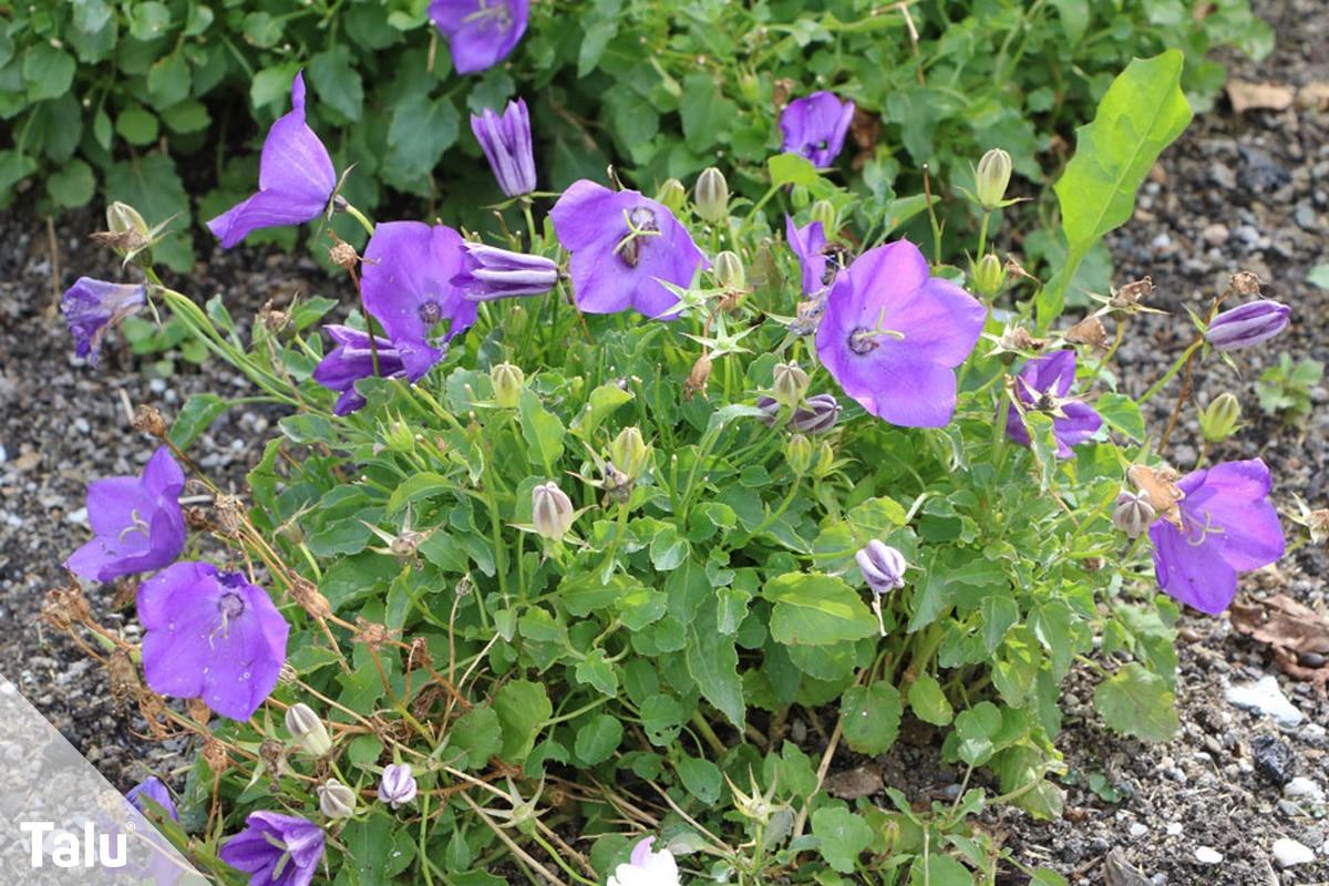 ideale Balkonpflanzen für schattige Standorte, Karpaten-Glockenblume