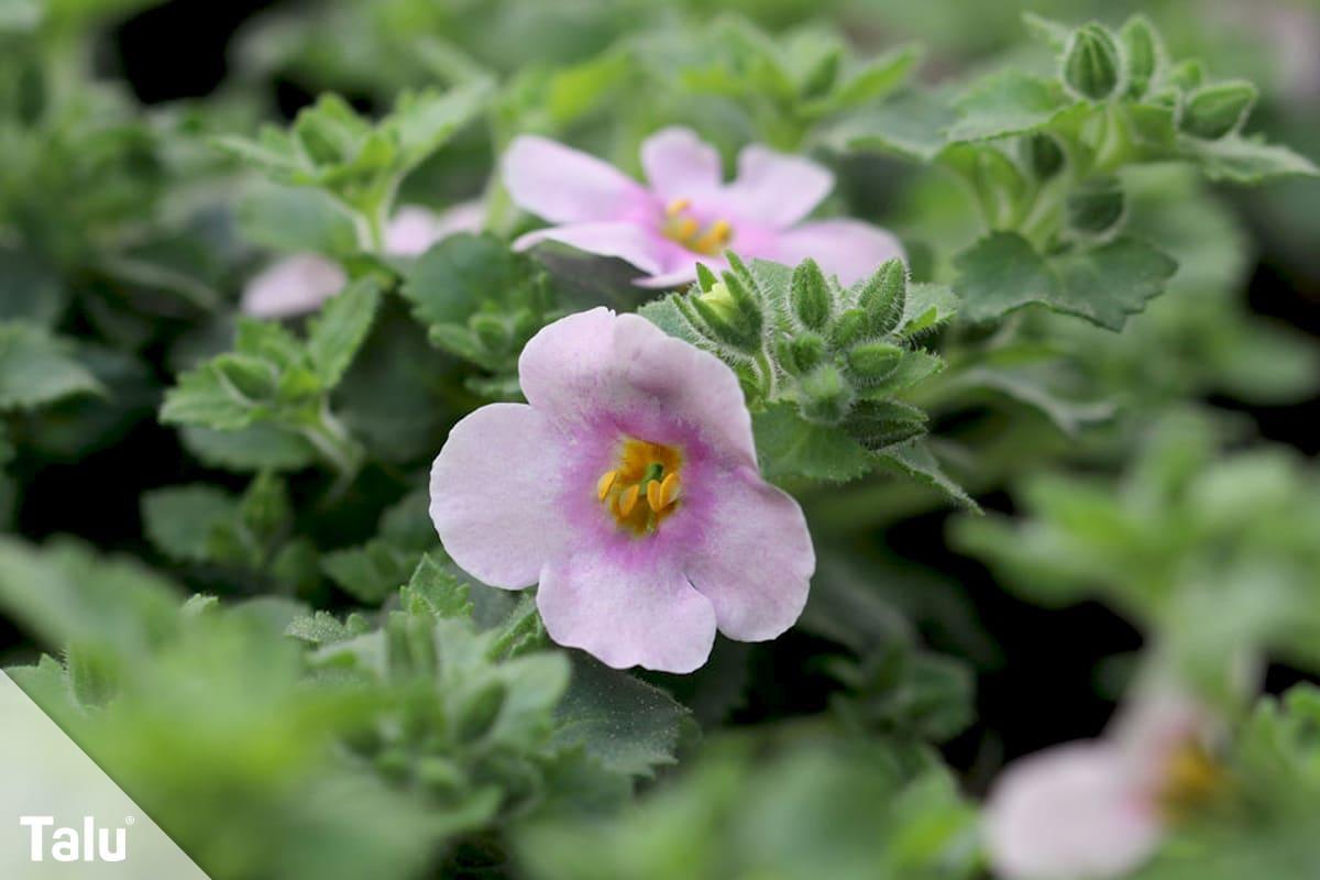 ideale Balkonpflanzen für schattige Standorte, Schneeflockenblume