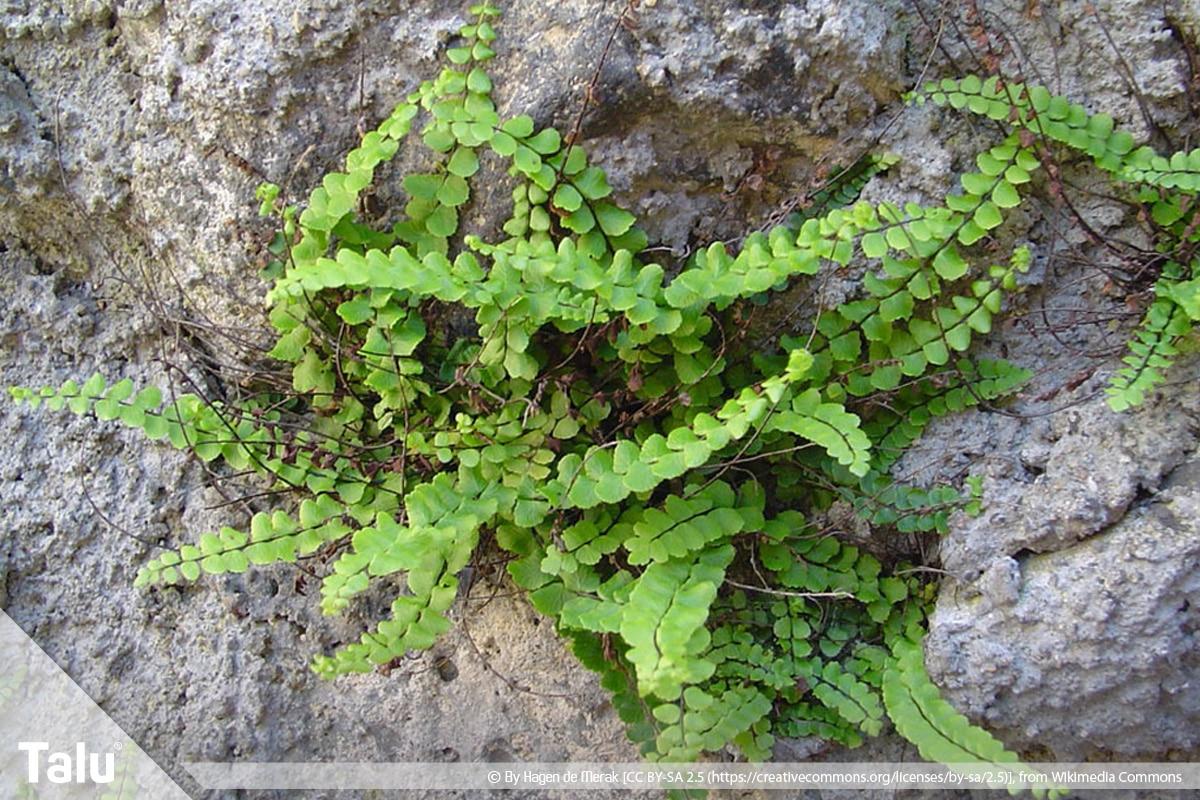 ideale Balkonpflanzen für schattige Standorte, Streifenfarn