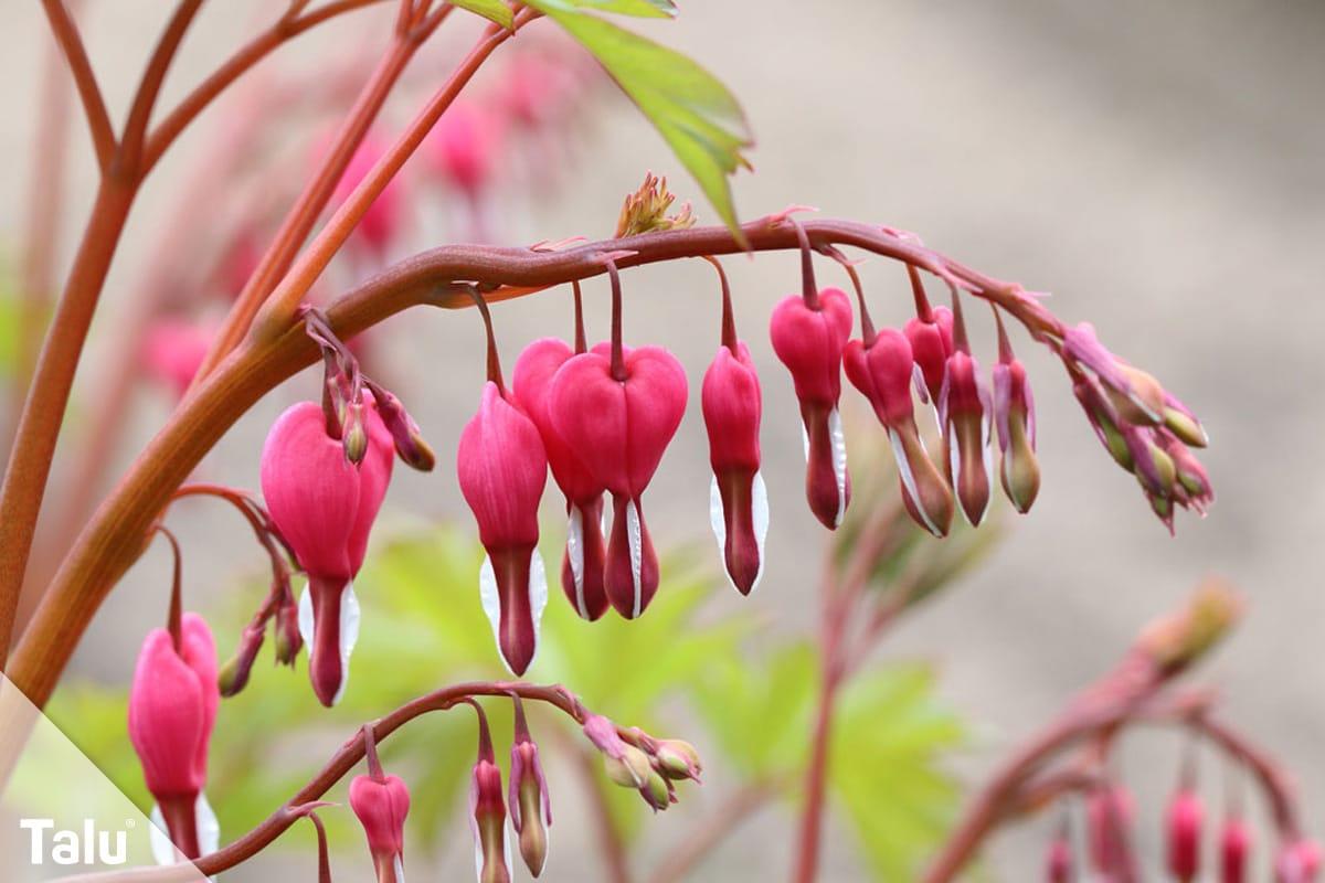 ideale Balkonpflanzen für schattige Standorte, Tränendes Herz