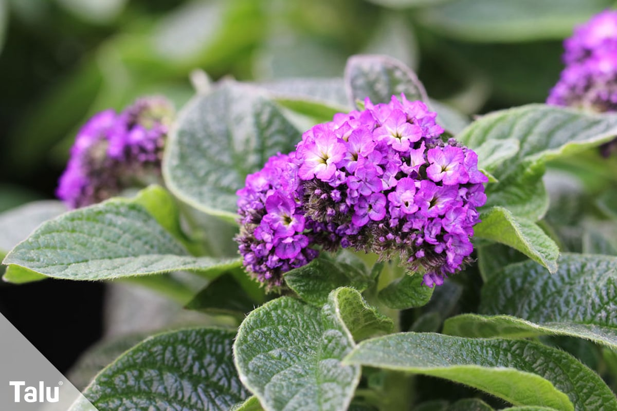 ideale Balkonpflanzen für schattige Standorte, Vanilleblume
