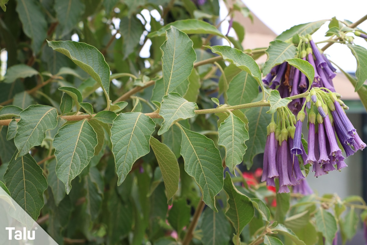 ideale Balkonpflanzen für schattige Standorte, Veilchenstrauch