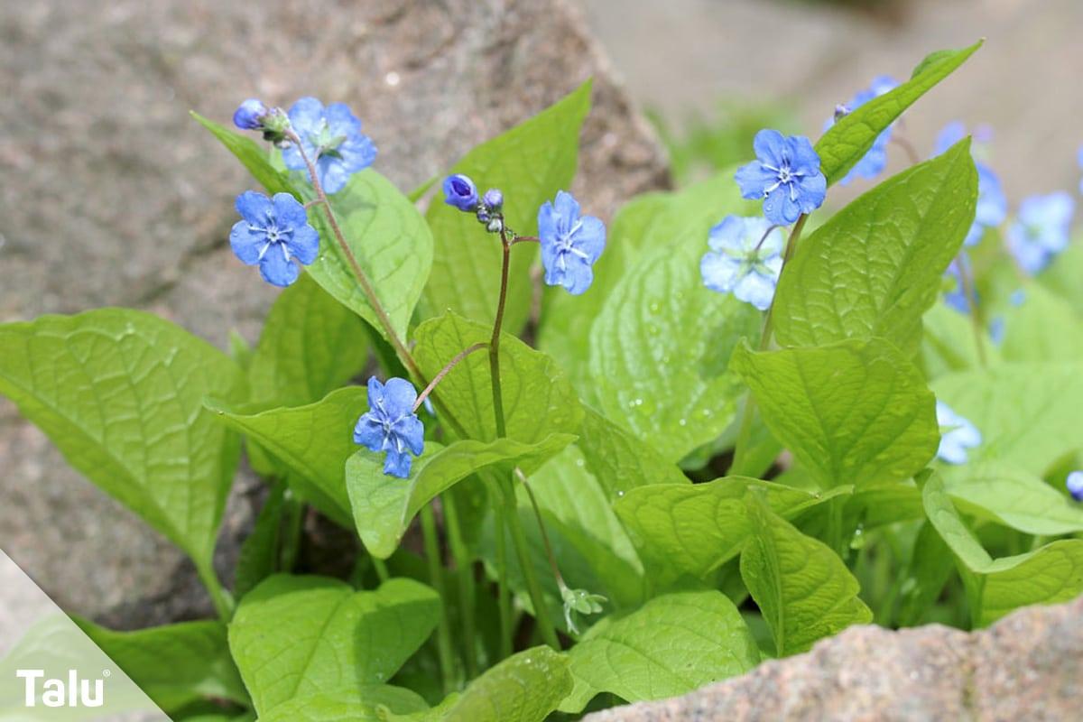 ideale Balkonpflanzen für schattige Standorte, Vergissmeinnicht