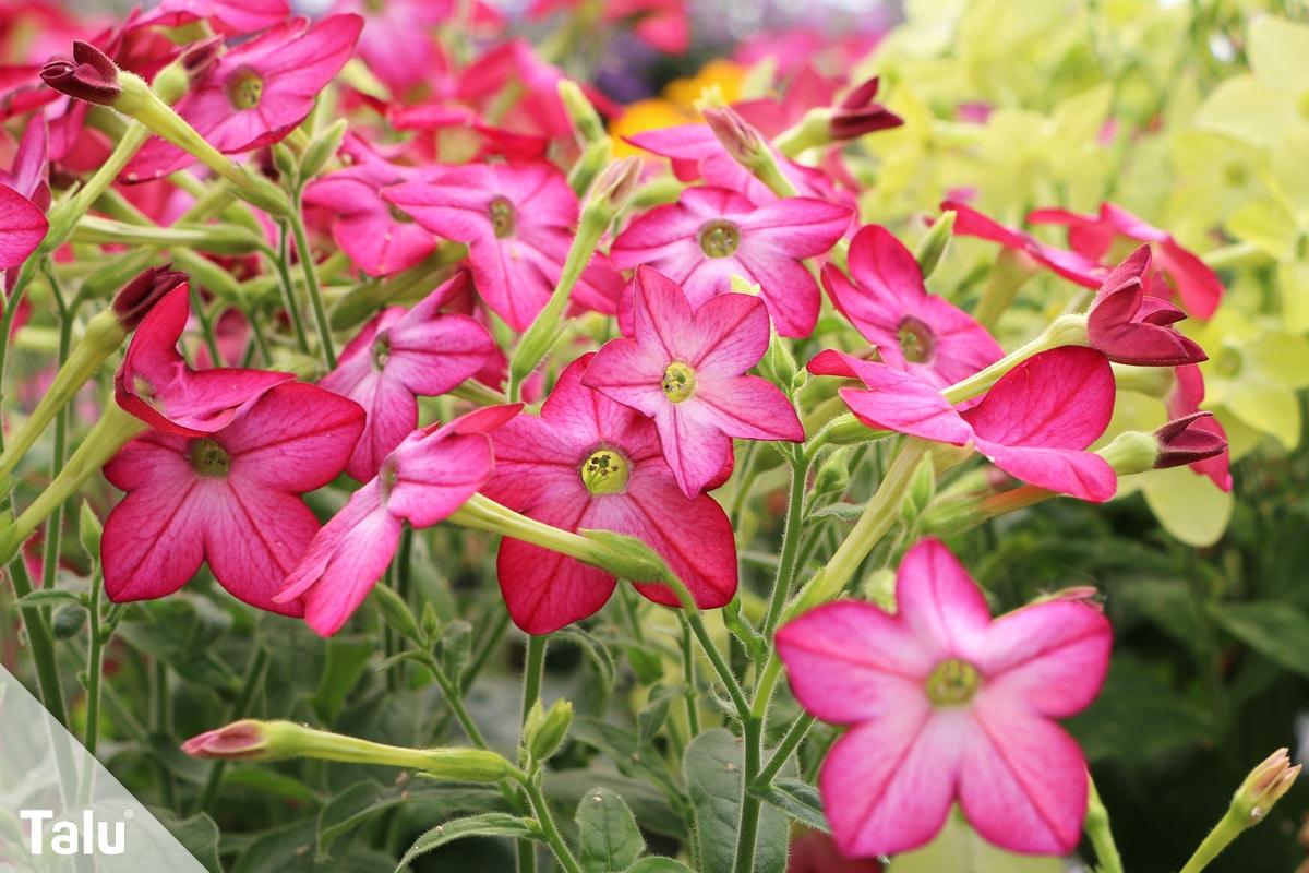 ideale Balkonpflanzen für schattige Standorte, Ziertabak
