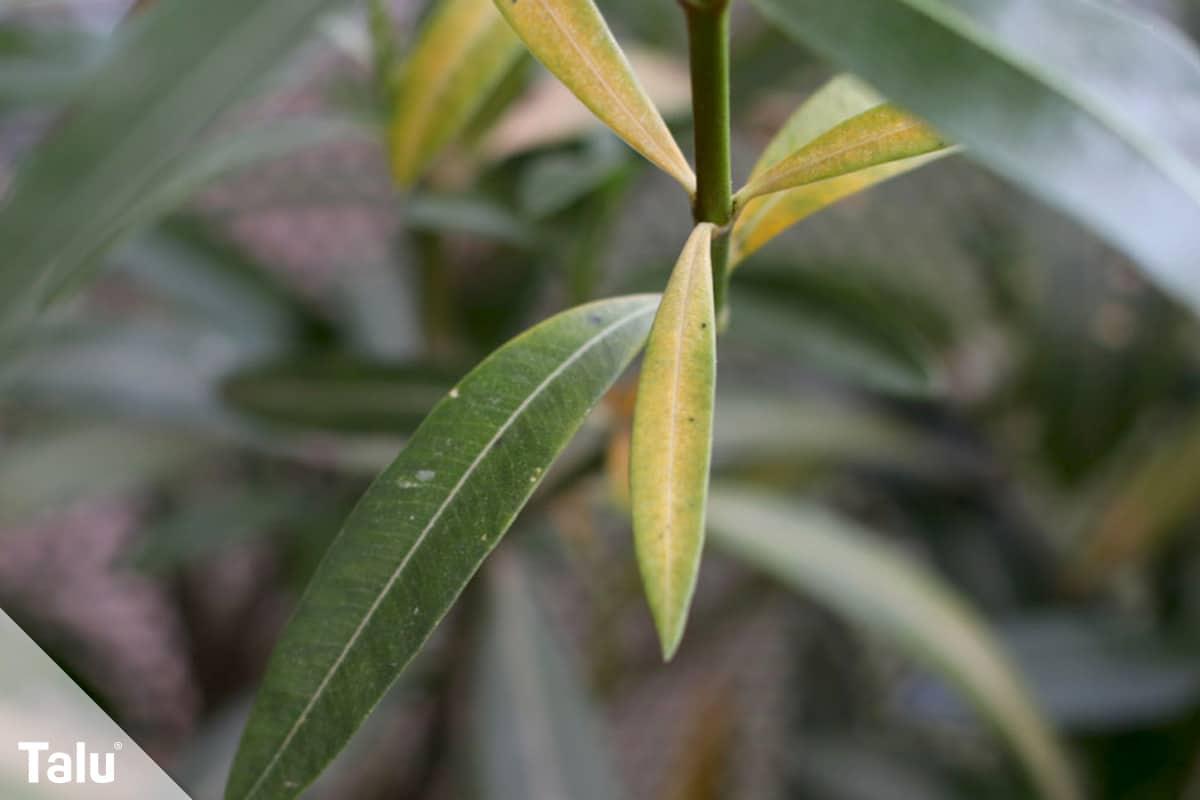 Oleander umtopfen, Zeitpunkt, Gesundheitszustand des Oleanders