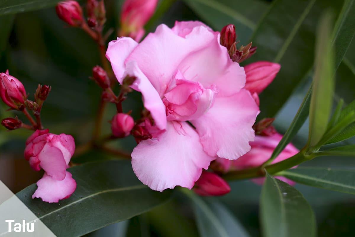 Oleander umtopfen, Zeitpunkt, Oleander in der Blütezeit