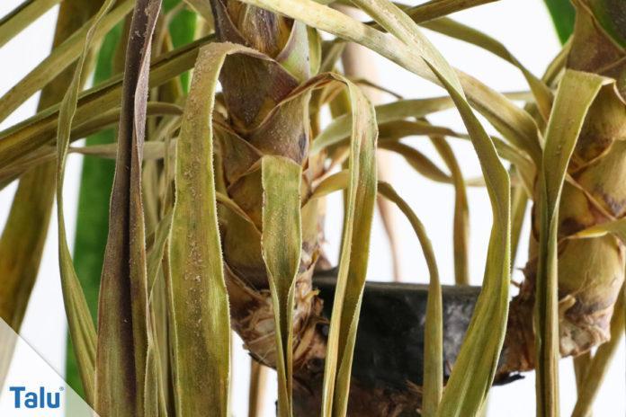 Yucca-Palme verliert Blätter
