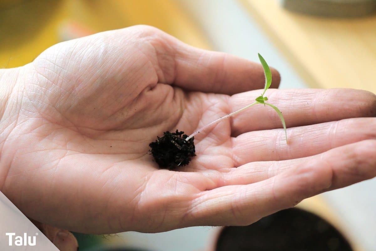 Pflanze pikieren