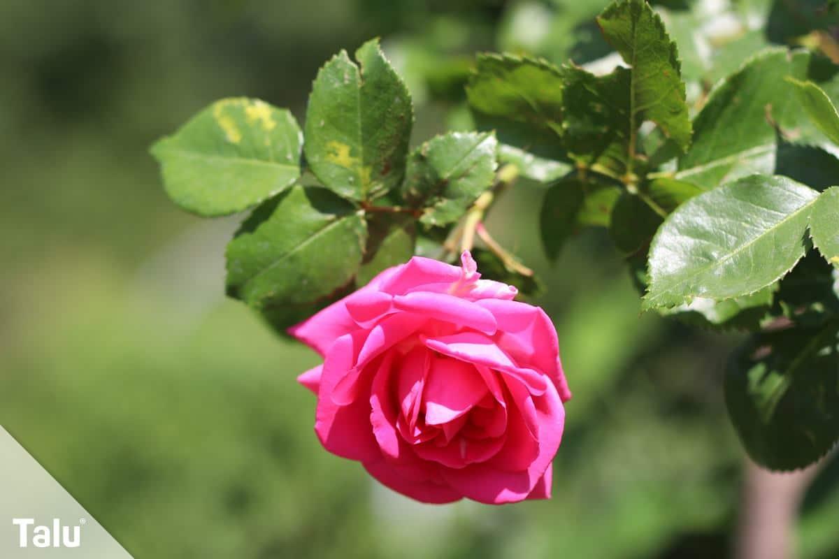 Kletterrose (Rosa)