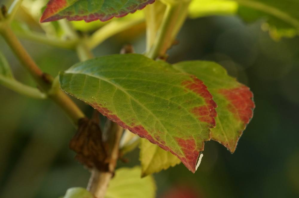 Hortensien Vermehren Anzucht Aus Stecklingen Erklart Talu De