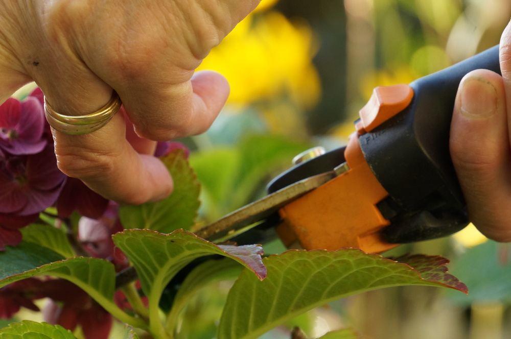 rispenhortensie hydrangea paniculata pflege und. Black Bedroom Furniture Sets. Home Design Ideas