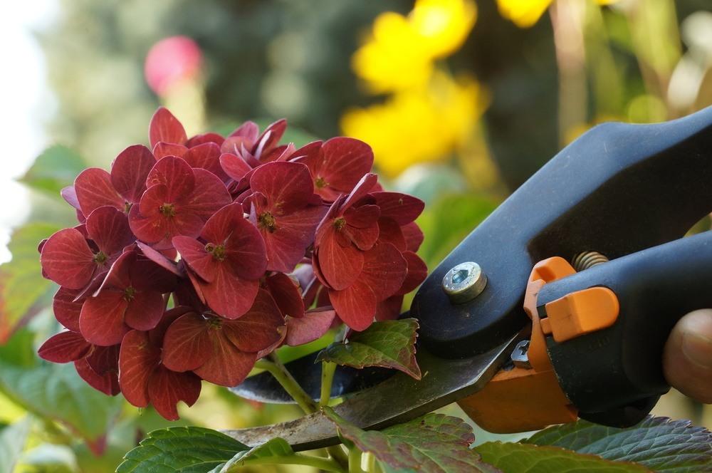 hortensien vermehren anzucht aus stecklingen erkl rt. Black Bedroom Furniture Sets. Home Design Ideas