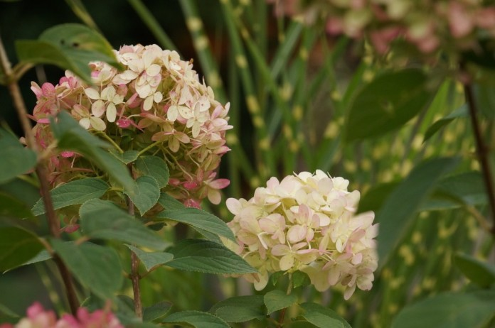 hortensie hydrangea paniculata 39 limelight 39 pflege tipps. Black Bedroom Furniture Sets. Home Design Ideas