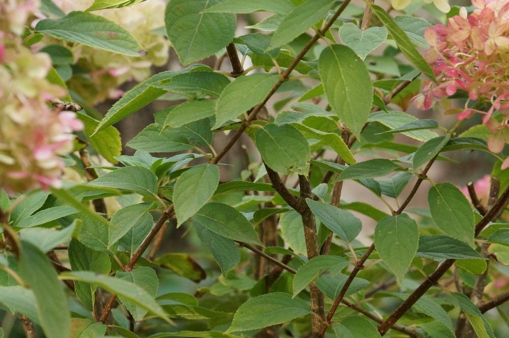 Tipps Zur Hortensien-pflege - Standort Und Richtig Pflanzen - Talu.de Hortensien Pflege Lernen Sie Wie Sie Ihre Zimmerpflanzen Pfoegen