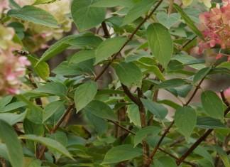 rhododendron vermehren durch ableger und stecklinge. Black Bedroom Furniture Sets. Home Design Ideas
